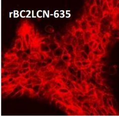 Lectinas rBC2LCN